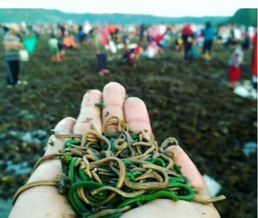 Nyale atau cacing laut yang diambil dalam Festival Bau Nyale di Lombok, NTB./foto: instagram arikadirajat